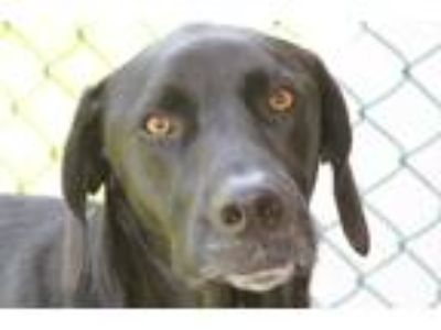 Adopt Jack a Black German Shorthaired Pointer / Mixed dog in Independence