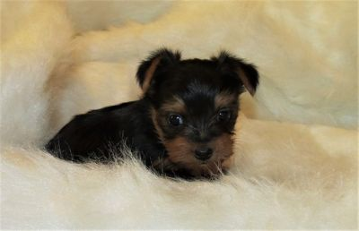 Yorkshire Terrier PUPPY FOR SALE ADN-54576 - Yorkie Puppies