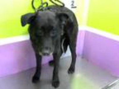 Adopt a Black Labrador Retriever / Mixed dog in Houston, TX (25932902)