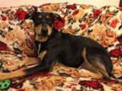 Adopt Tyra a Shepherd (Unknown Type) / Retriever (Unknown Type) / Mixed dog in