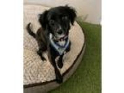 Adopt Ginny a Black - with White Cocker Spaniel / Mixed Breed (Small) / Mixed