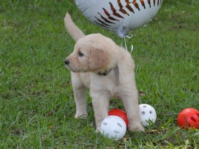 Goldendoodle PUPPY FOR SALE ADN-77802 - F1 standard Goldendoodles