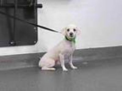 Adopt 20-00780 a Poodle