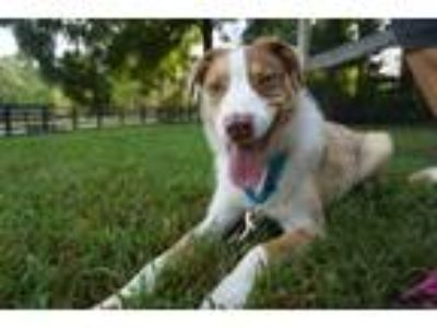 Adopt Finney - jolly, shy and super active! a Australian Shepherd, Border Collie
