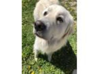 Adopt Fitz a White Great Pyrenees / Mixed dog in Pacific, MO (25283386)