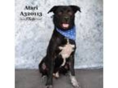 Adopt A320113 a Catahoula Leopard Dog, Mixed Breed