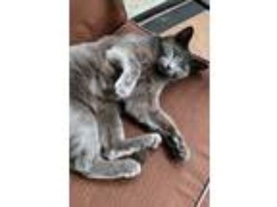 Adopt Gracie a Gray or Blue American Shorthair cat in Hillsboro, OR (25778706)