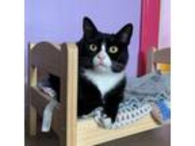 Adopt Pixel a Black & White or Tuxedo Domestic Shorthair / Mixed cat in Port