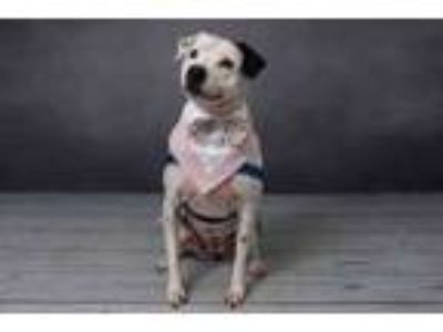 Adopt MACI a American Staffordshire Terrier, Boston Terrier