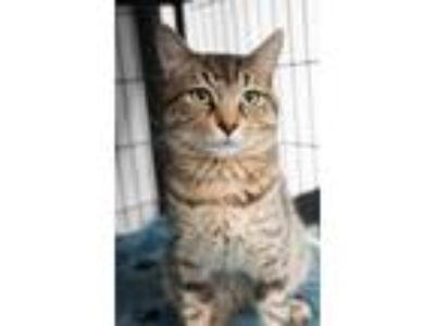 Adopt Liam a Brown or Chocolate Domestic Shorthair / Domestic Shorthair / Mixed