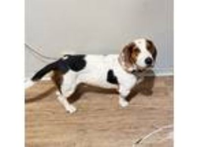 Adopt Billy Joe a Beagle / Basset Hound / Mixed dog in Cleveland, TN (25575155)