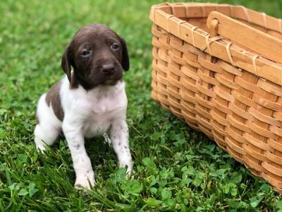 German Shorthaired Pointer PUPPY FOR SALE ADN-78465 - GSP AKC registered Puppies