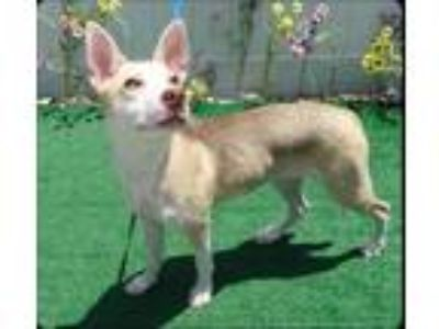 Adopt DELIA a Tan/Yellow/Fawn - with White Siberian Husky / Mixed dog in
