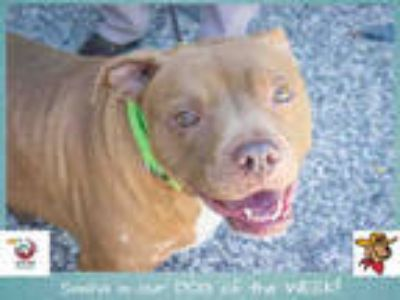 Adopt SASHA a Brown/Chocolate - with White American Pit Bull Terrier / Mixed dog