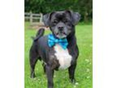 Adopt Bandit a Pug, Jack Russell Terrier