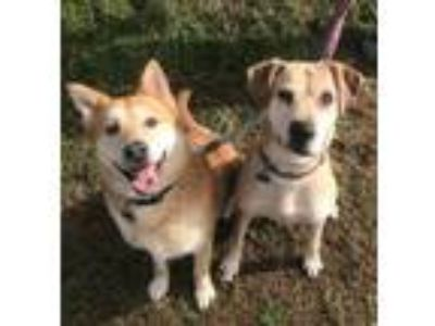 Adopt Rock (Bonded Pair with Pepper) a Husky, Chow Chow