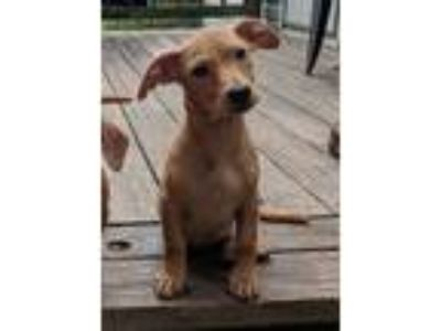 Adopt Rooster a Tan/Yellow/Fawn Dachshund / Mixed dog in Beacon, NY (25879543)
