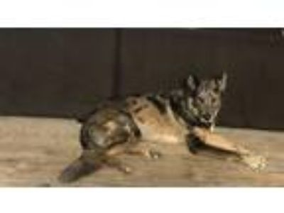 Adopt Banzai a Merle Australian Shepherd / German Shepherd Dog / Mixed dog in