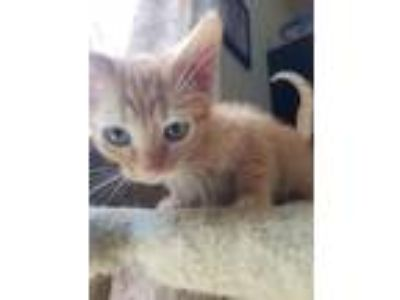 Adopt July a Orange or Red Tabby American Shorthair (short coat) cat in Hanover