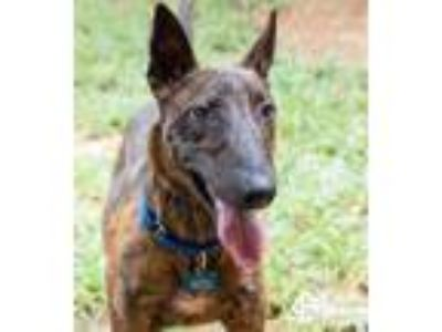 Adopt Tarpon a Brindle Bull Terrier / Mixed dog in Lihue, HI (25592958)