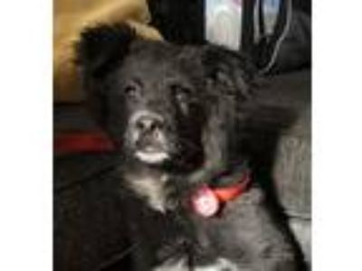 Adopt Hercules a Black - with White German Shepherd Dog / Chow Chow dog in