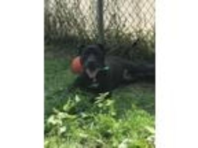 Adopt Relco a Pit Bull Terrier