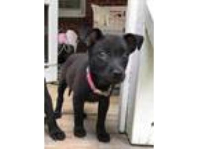 Adopt Harmony a Black Labrador Retriever / Mixed dog in Columbia, SC (25925049)