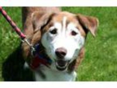 Adopt Champ a Brown/Chocolate Husky / Mixed dog in Pittsfield, MA (25357150)
