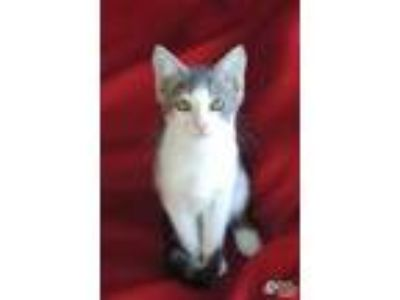 Adopt Luna a White Domestic Shorthair / Domestic Shorthair / Mixed cat in Lihue