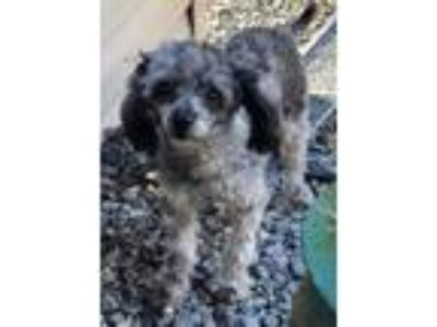 Adopt Lucy a Poodle