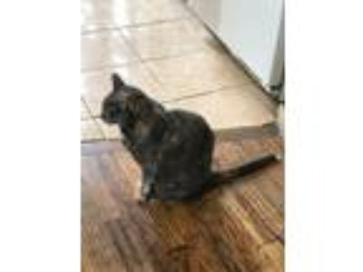 Adopt Fagioli a Gray or Blue (Mostly) Calico / Mixed cat in Brooklyn