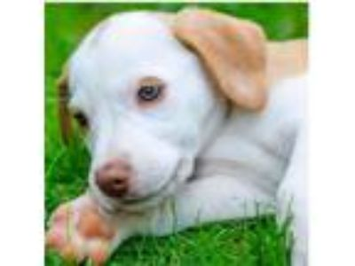 Adopt Baby Frozen a Labrador Retriever / Beagle / Mixed dog in Potomac