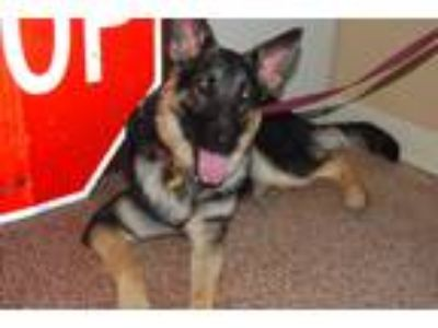 Adopt ginger a Black - with Tan, Yellow or Fawn German Shepherd Dog / Mixed dog
