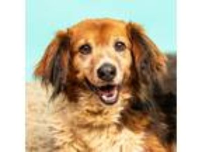 Adopt Travis a Brown/Chocolate - with White Sheltie, Shetland Sheepdog / Mixed