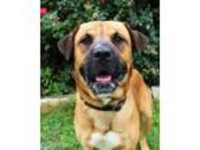 Adopt Little John a Brown/Chocolate Bullmastiff / Shepherd (Unknown Type) /