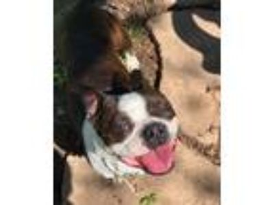 Adopt Yogi a Brindle - with White Boston Terrier / Mixed dog in Irving