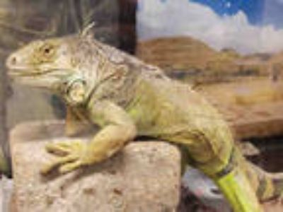 Adopt PASCAL a Iguana / Mixed reptile, amphibian, and/or fish in Van Nuys