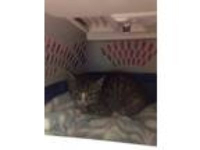Adopt Cinder a Brown or Chocolate Domestic Shorthair / Domestic Shorthair /