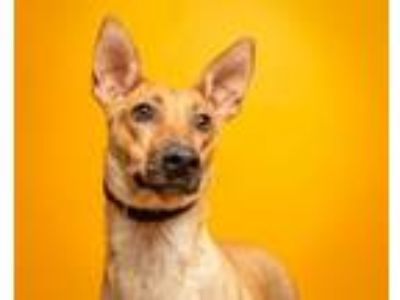 Adopt Torri a Mixed Breed
