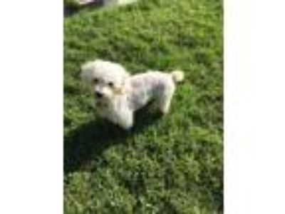 Adopt NOLAN a White Poodle (Miniature) / Mixed dog in Sacramento, CA (25927470)