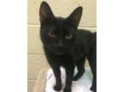Adopt Itchy a Domestic Short Hair