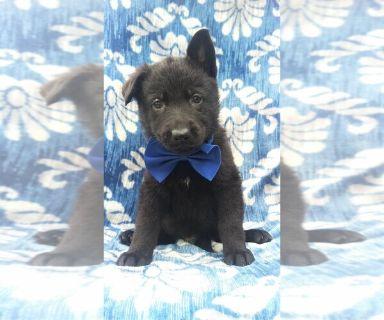 German Shepherd Dog PUPPY FOR SALE ADN-129751 - AKC German Shepherd Puppy