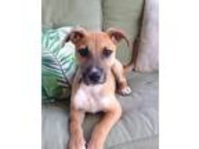 Adopt Seth (Fostered in TN) a Tan/Yellow/Fawn - with Black Black Mouth Cur /