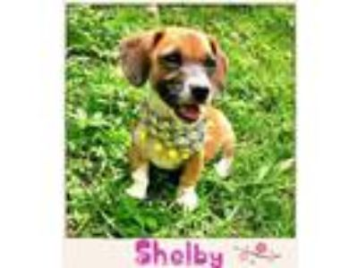 Adopt Shelby a Cavalier King Charles Spaniel