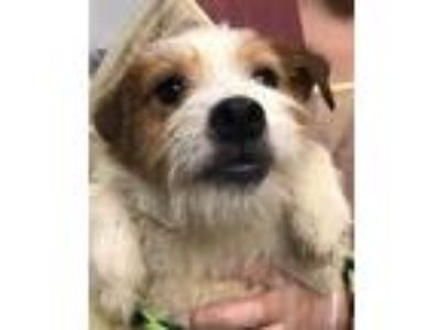 Adopt Aaron a Parson Russell Terrier / Mixed dog in Madison, NJ (25583617)