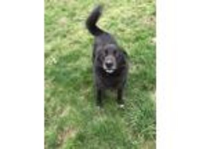 Adopt Tucker a Black - with White Labrador Retriever / Great Pyrenees dog in