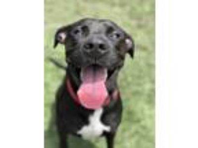 Adopt Royal a Black Labrador Retriever / Pit Bull Terrier / Mixed dog in