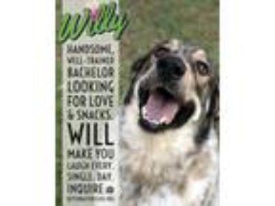 Adopt WILLY a Great Pyrenees, Labrador Retriever