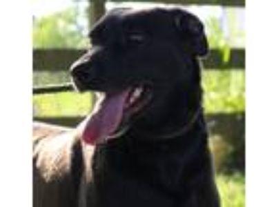 Adopt DIXIE a Black Labrador Retriever / Mixed dog in Beaumont, TX (22751874)