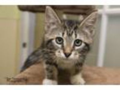 Adopt Yoshi a Domestic Short Hair